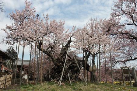 2016年神代桜.jpg