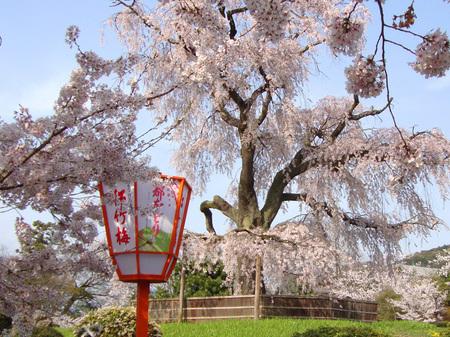 円山公園の桜.jpg