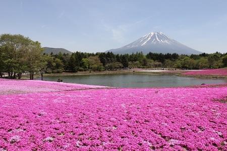 富士芝桜祭り.jpg
