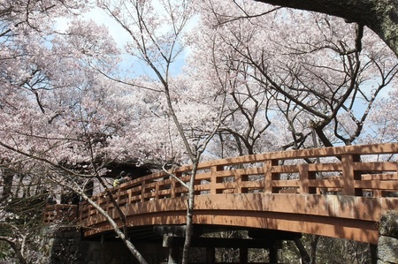 高遠城址公園の桜.jpg